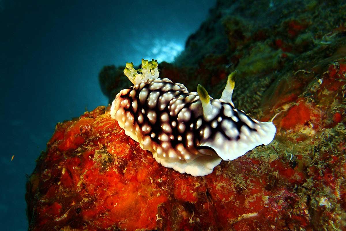 Nudibranchs of Tioman Island